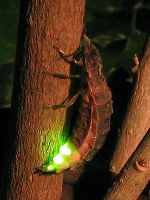 samka-svetlyaka-Lampyris-noctiluca