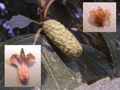 betula_pubescens