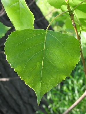 populus-nigra