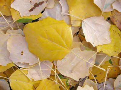 Тополь белый - Populus alba