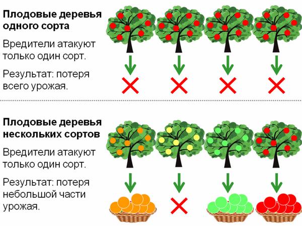 Выращивание разных сортов одного вида повышает шансы на урожай