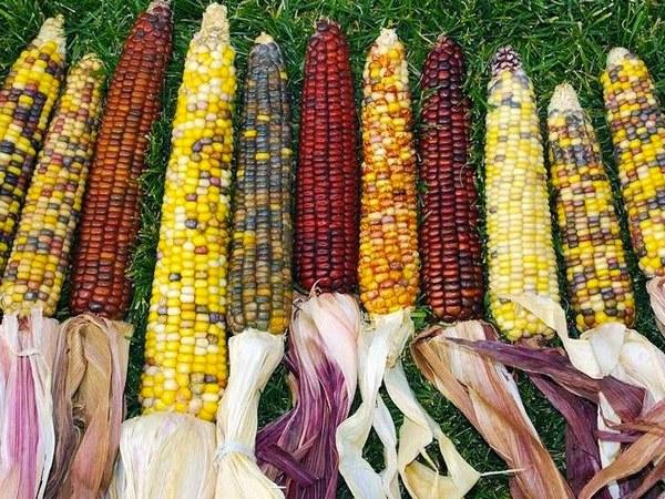 Разнообразие сортов кукурузы в Мексике