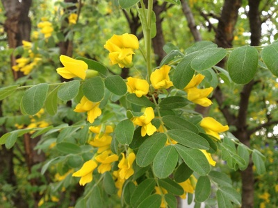 Акация жёлтая (Caragana arborescens)