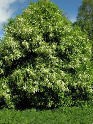 Черёмуха обыкновенная. Молодое дерево.