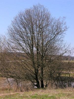 Черёмуха обыкновенная. Ранней весной.