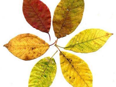 Черёмуха обыкновенная. Листья осенью.