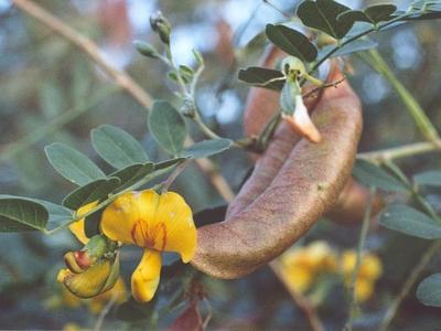 Пузырник (Colutea ssp.)