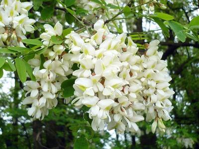 Робиния псевдоакация (Robinia pseudoacacia)