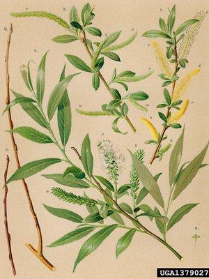 iva-belaya-salix-alba