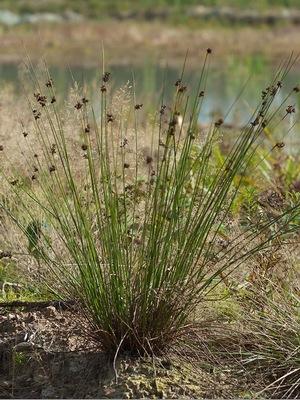 Ситник развесистый (Juncus effusus)  Фото: Мария Новикова / www.plantarium.ru
