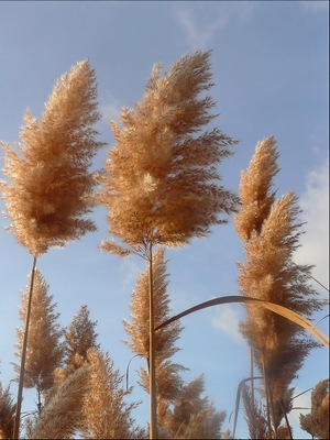 Тростник обыкновенный (Phragmites australis)