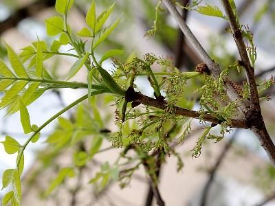 yasen-obyknovennyi-fraxinus-excelsior